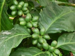 Kaffeefrüchte